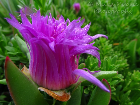 Macro Monday: Ice plant flower