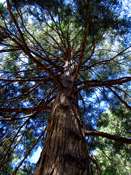 WordPress weekly photo challenge: Up - Looking up a pine tree