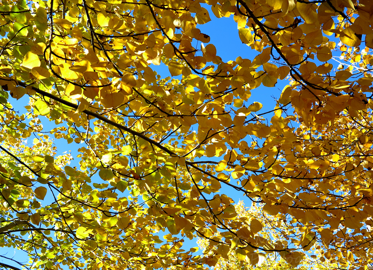 WordPress weekly photo challenge: Up - Yellow poplar leaves in the fall