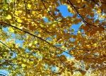 Yellow poplar leaves in the fall