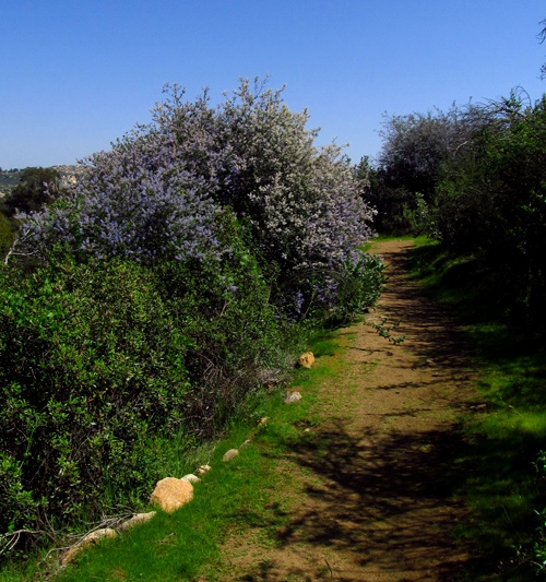 Ramona lilacs on a trail in Dos Picos County Park