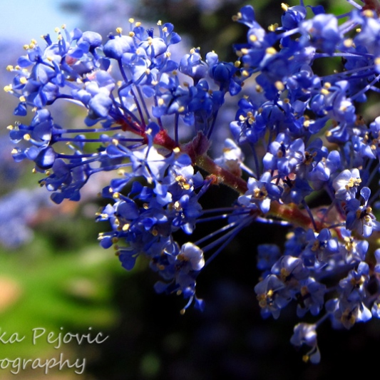 Let's Be Wild Weekly Photo Challenge – Scent of Ramona lilac blossoms