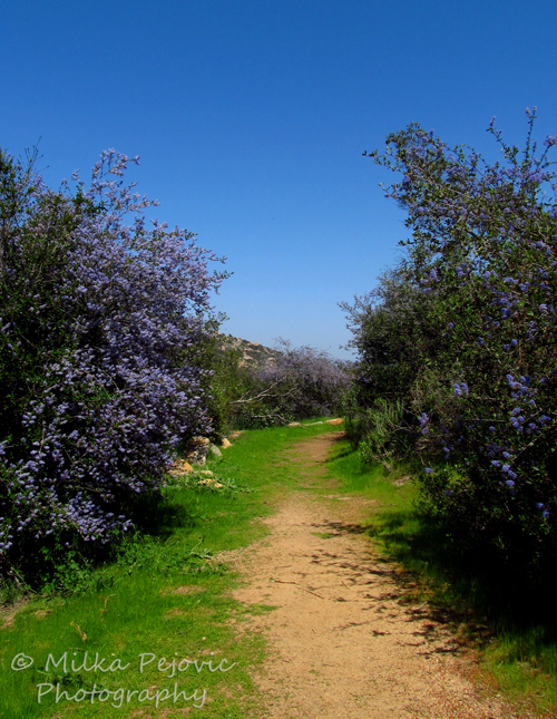 Cee's Fun Foto Challenge: Trail bordered by Ramona lilacs