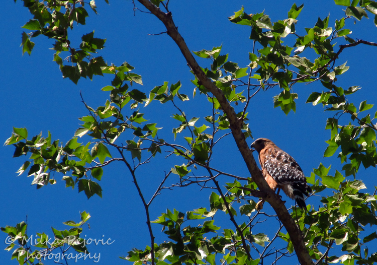 WordPress weekly photo challenge: Up – Red-tailed hawk in a tree