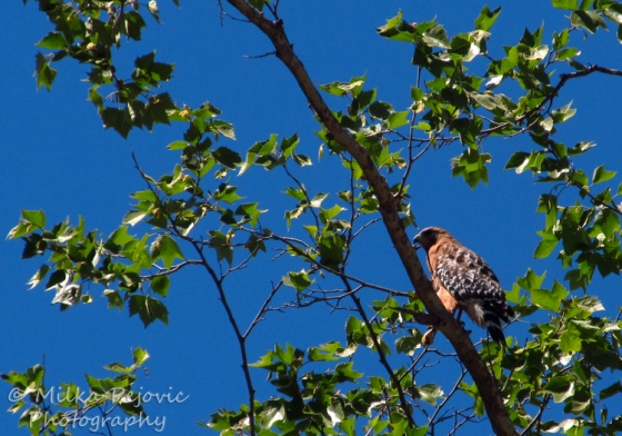 Let's Be Wild Weekly Photo Challenge – Overlooked red-tailed hawk in a tree