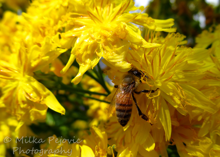 Wordpress weekly photo challenge: Color - yellow flowers and bee