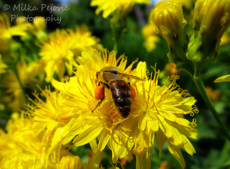 Wordpress weekly photo challenge: Fleeting - bee collecting nectar in bags