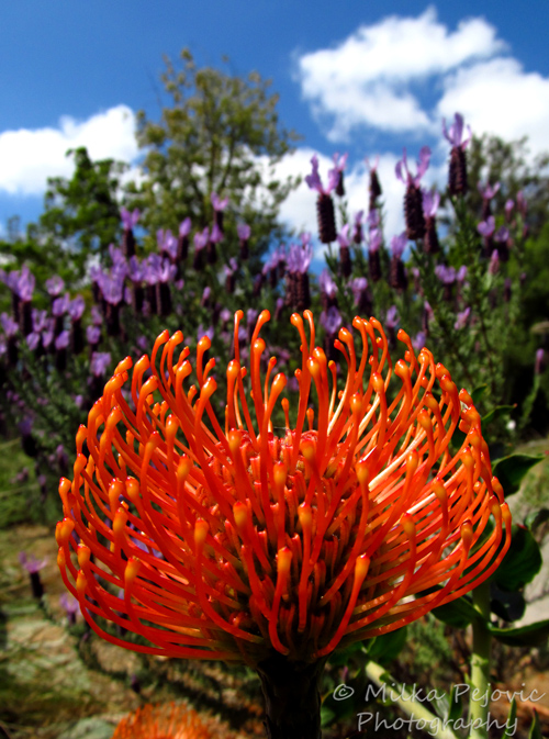 Travel theme: Contrast - Orange protea pincushion and purple lavender