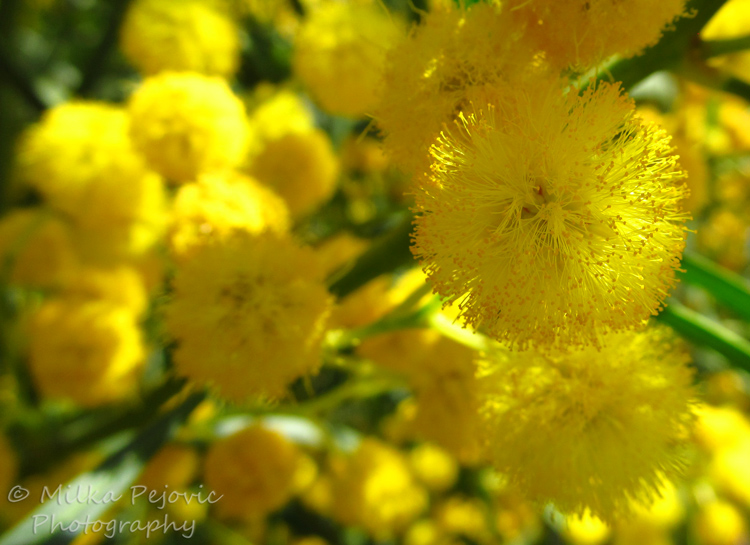 Cee's fun foto challenge - texture of yellow puffy blooms