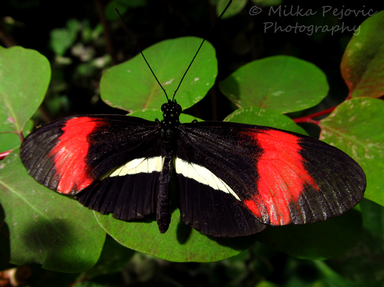 WordPress weekly photo challenge: From above - Postman butterfly (Heliconius Melpomene)