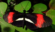 Butterflies: the postman butterfly (Heliconius Melpomene)