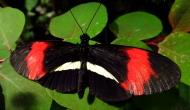 Butterflies: the postman butterfly (HeliconiusMelpomene)
