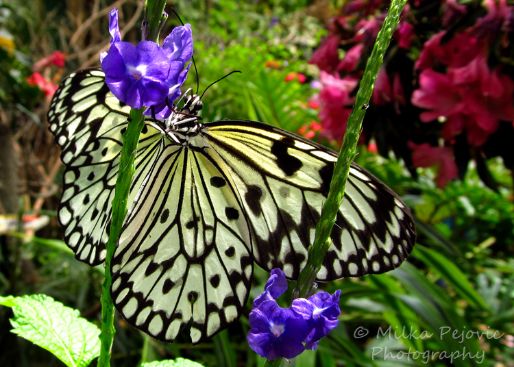 Lines and patterns of the paper kite butterfly (Idea Leuconoe)