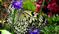 Butterflies: the paper kite (IdeaLeuconoe)