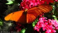 Butterflies: the orange julia (Dryasiulia)