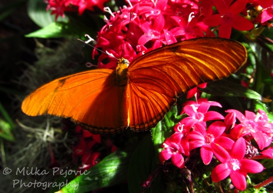 WordPress weekly photo challenge: From above - Orange julia butterfly (Dryas iulia)