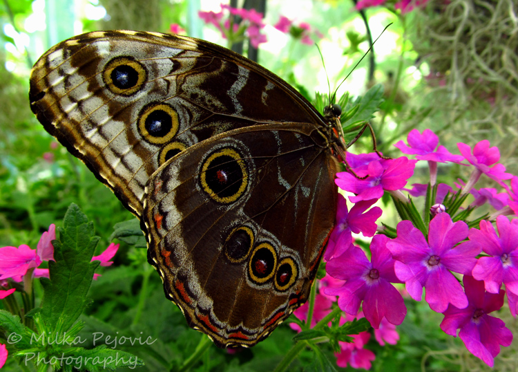 Wordpress weekly photo challenge: Color - pink flowers and giant owl butterfly