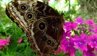 Butterflies: the giant owl (Caligomemnon)