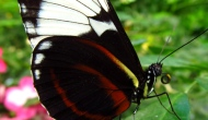 Butterflies: Tiger longwing (Heliconiushecale)