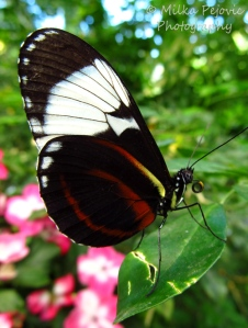 A word a week - face with proboscis of a tiger longwing butterfly