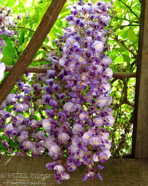 Wordpress weekly photo challenge: Color - purple wisteria