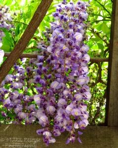 Wordpress weekly photo challenge: Color - purple wisteria