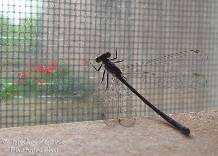 Wordpress weekly photo challenge: Inside - Blue damselfly