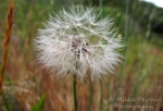 Macro Monday: Dandelion in seed