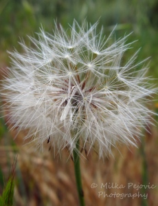 Lines and patterns of a dandelion in seed