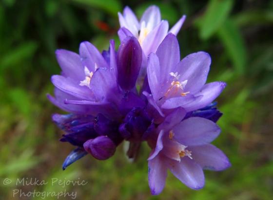 Macro Monday: Tiny purple wildflowers