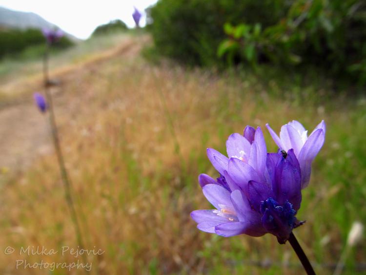 Macro Monday: Small purple wildflowers