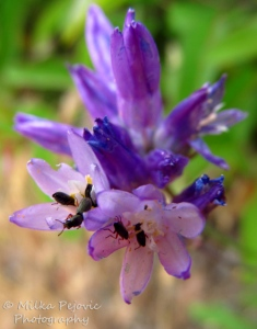 Macro Monday: Tiny bugs in small purple wildflowers