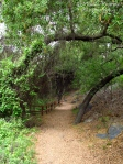 Cee's Fun Foto Challenge: Trail with coast live oak trees