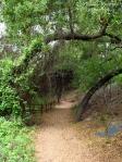 Cee's Fun Foto Challenge: Trail with coast live oak trees