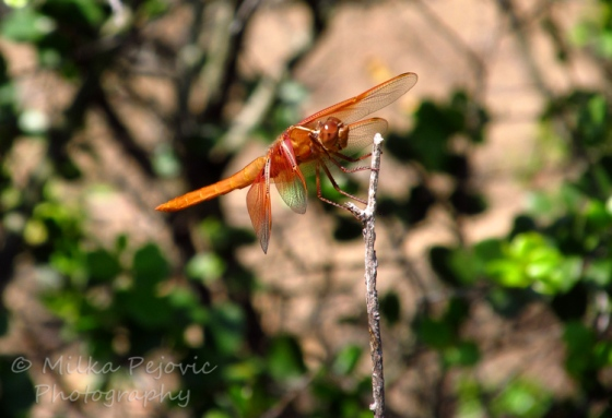 Macro of an orange dragonfly