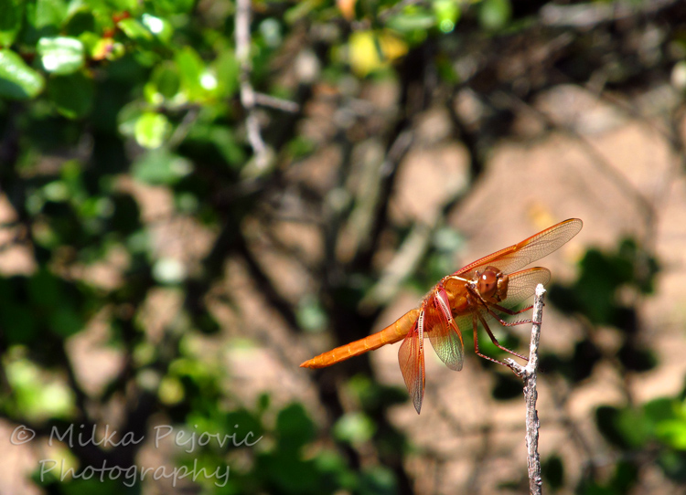 Zoom of an orange dragonfly