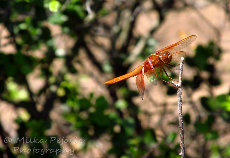 Close-up of an orange dragonfly