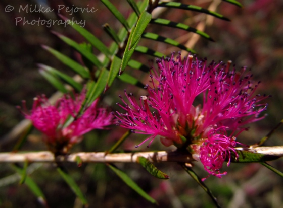 Macro Monday: the blooms of the violet honey-myrtle tree