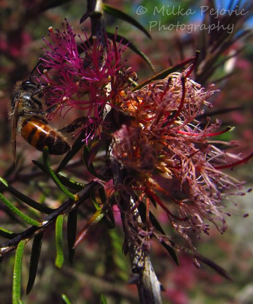 Macro Monday: bee on a violet honey-myrtle bloom