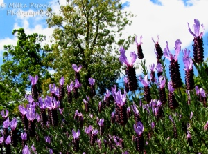 Purple lavender blooms