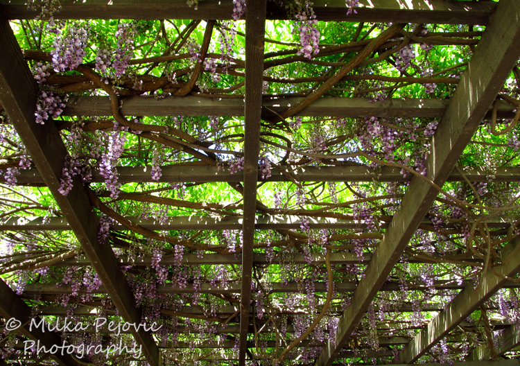 Wisteria blooms on a large wooden frame