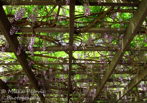 Floral Friday Fotos: Wisteria blooms on a large trellis