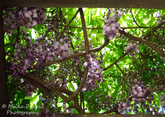 Wisteria in bloom on wooden trellis