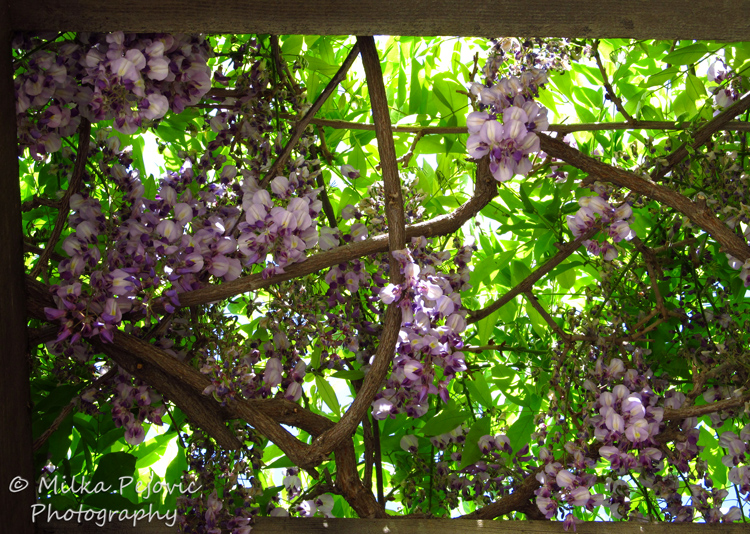 Floral Friday Fotos: Wisteria in bloom