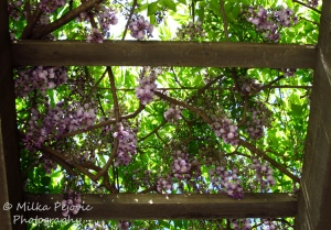 Floral Friday Fotos: Wisteria blooms on wooden trellis