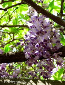 Cluster of wisteria blooms