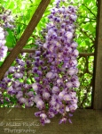 White and purple wisteria flowers