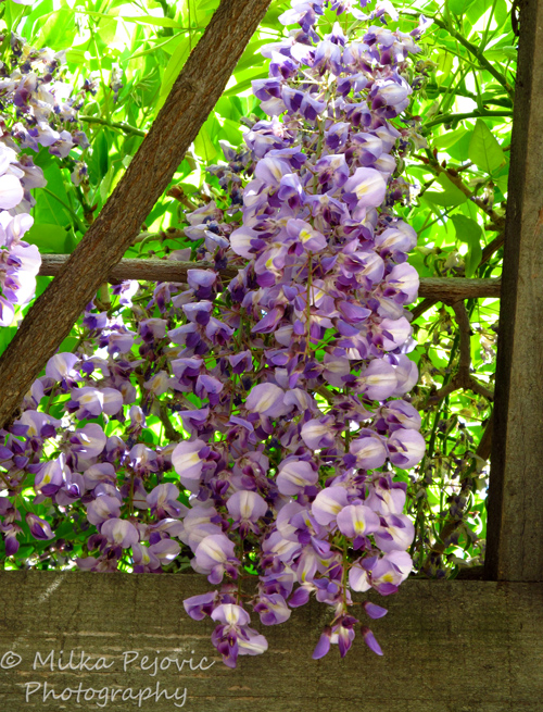 Cee's fun foto challenge: white and purple White and purple wisteria flowers