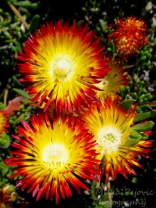 Wordpress weekly photo challenge: Saturated - iceplant blooms