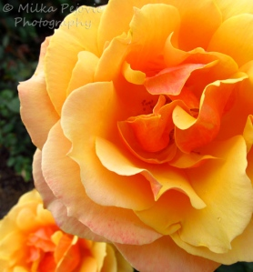 A Word A Week Challenge – Orange tea rose in Balboa Park rose garden
